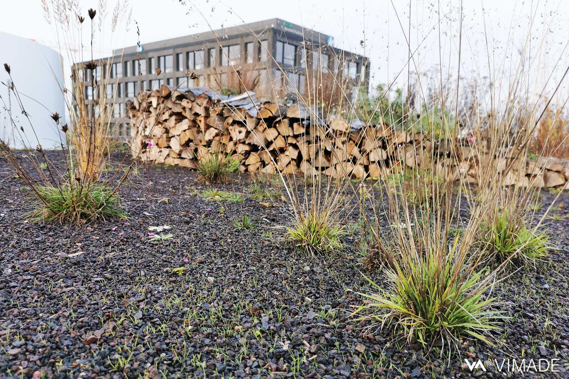 Toiture végétalisé avec semis et plantation de graminées, écologie et biodiversité du bâtiment Luigia du site The hive à Meyrin par le bureau VIMADE Architectes paysagistes Genève.